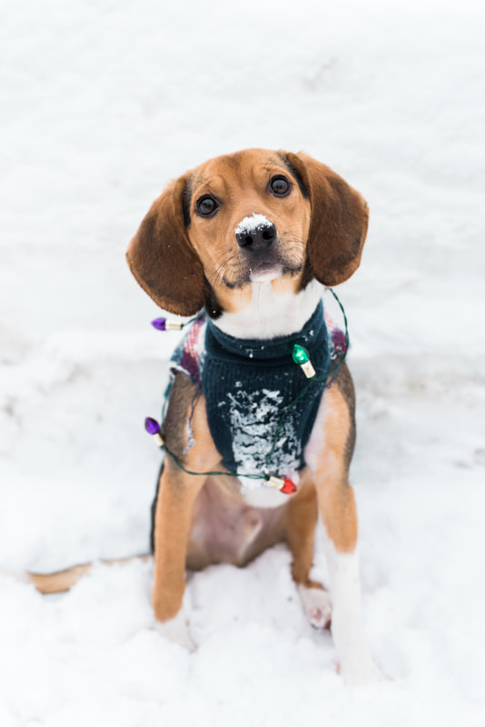 Bellingham Photographer, Mount Baker Beagle Puppy Family Session in the Snow, Caylie Mash Photography